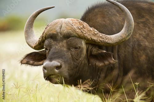 Foto op Aluminium Buffel Buffalo stare