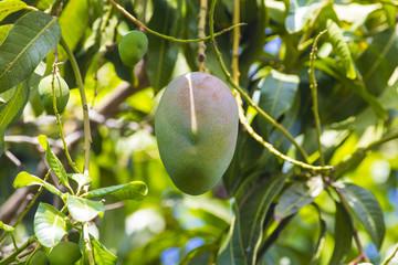 Green mango on tree in garden.