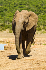 Young elephant running