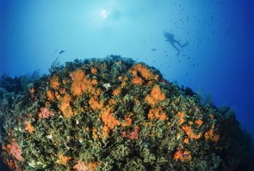 Mediterranean Sea, yellow Parazoanthus
