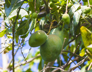 Green mango on tree in garden.