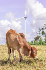Cow is grazing on meadow near the big windmill in wind farm elec
