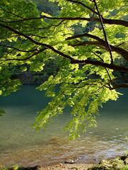 川の流れと新緑のもみじ