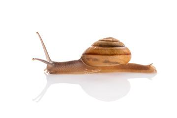 Garden snail isolated on white background.