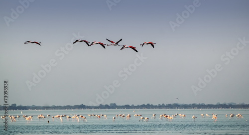 Foto Spatwand Flamingo Greater flamingos, phoenicopterus roseus, in Camargue, France