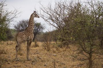 Giraffe in the bushes