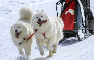 Sled samoyed dogs in speed racing, Moss, Switzerland