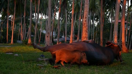 Funny Friendship - Buffalo Playing with Boar in Palm Forest.