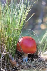 Amanita muscaria en su hábitat natural el pinar de coníferas