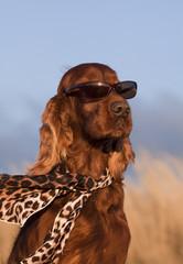 Funny fashionist dog - Iirsh Setter