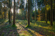 Sunlight passes the coniferous forest