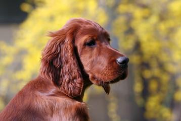 Beautiful Irish Setter puppy