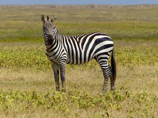 Zebra im Ngorongoro Krater Serengeti Tansania Afrika