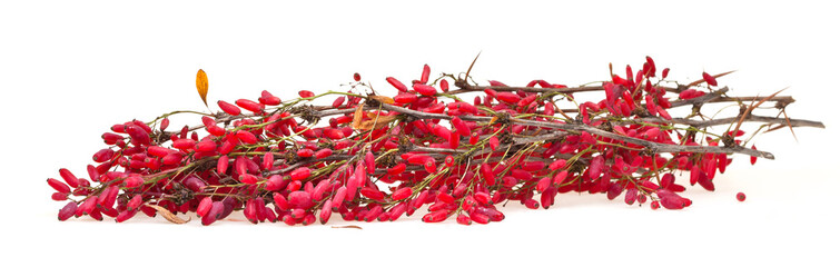 red berberis sprig with ripe fruits on white