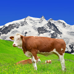 Cow on the meadow.In the background of the Monte Rosa  - Swiss