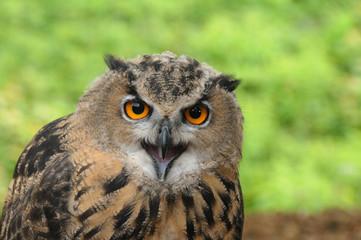 Brown (Tawny Owl)