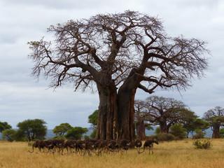 Straußen-Herde unter einem Affenbrotbaum Tarangire Tansania