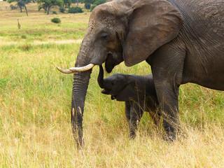 Elefantenkuh mit Jungtier Tarangire Nationalpark Tansania