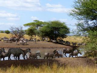 Zebraherde am Wasserloch im Tarangire Nationalpark Tansania
