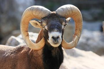 muflone mammiffero selvaggio di montagna