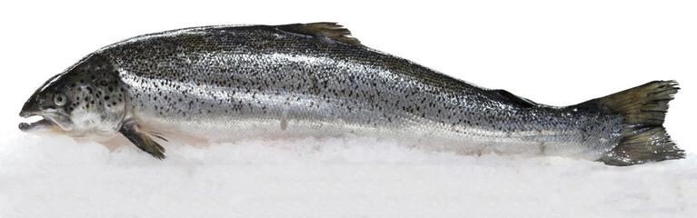 Fresh Norwegian salmon on ice