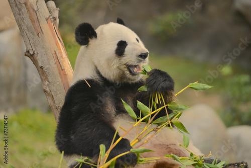 Fotobehang Panda Giant Panda