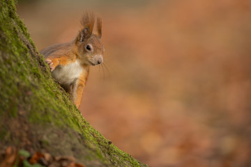 Cheeky red squirrel on a mossy tree trunk
