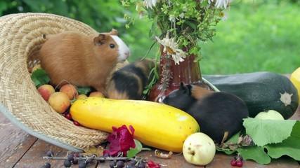 family of Guinea pig
