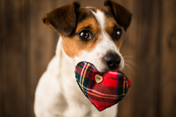 Cute dog with toy heart