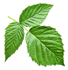 Fresh raspberry leaves. File contains clipping paths.