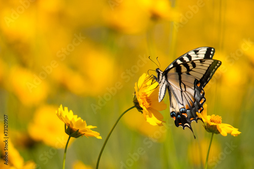 Foto op Canvas Vlinder Eastern Tiger Swallowtail