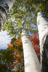 Autumn leaf colors on silver birch tree.