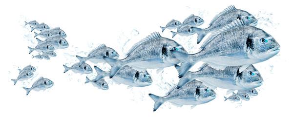 Fischschwarm, Dorade