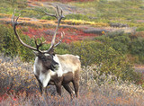 Male Caribou on Fall Tundra, Alaska Range