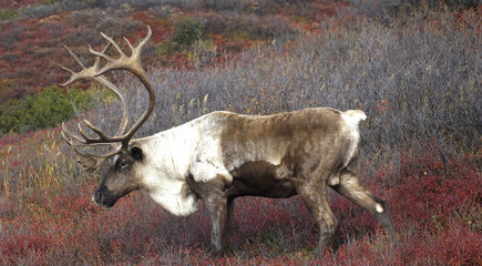 Male Caribou Grazing in Fall Colors