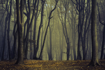 Spooky silhoutte trees in dark forest with fog
