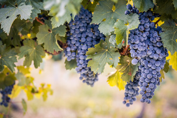Wine grapes on summer vine