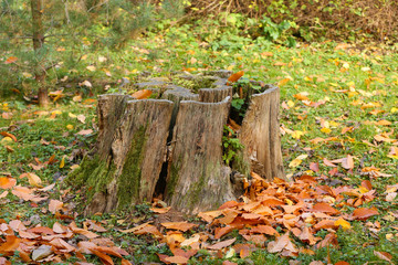 Beautiful autumn leaves and stump in forest