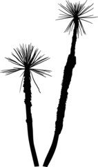 black small high palm trees isolated on white