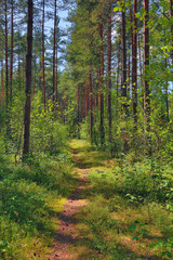 path in summer forest with pines