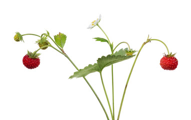 flower and berries on strawberry isolated branches