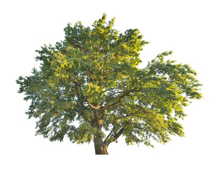 green large oak tree isolated on white