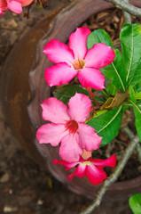 japanese red frangipani flowers