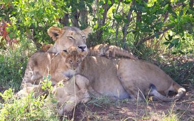 Löwenmutter mit Kindern