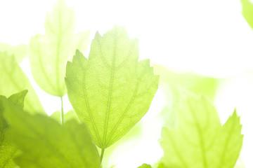 ムクゲの葉