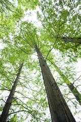 メタセコイヤの林