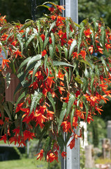 Haengebegonie, Begonia, boliviensis, Bonfire,