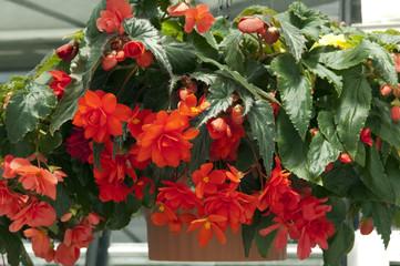 Haengebegonie; Begonia; Knollenbegonie;