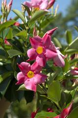 Dipladenia, Rio Hot Pink, Mandevilla-Hybride,