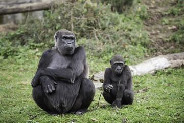Gorille femelle et son petit